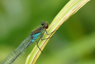 Nature picture: Erythromma najas / Grote Roodoogjuffer / Red-eyed Damselfly