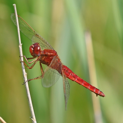 Nature picture: Crocothemis erythraea / Vuurlibel / Scarlet Dragonfly