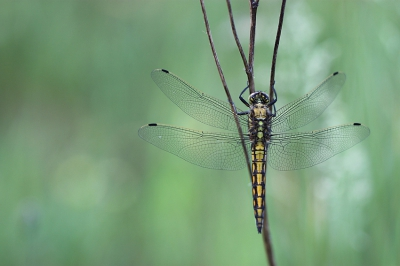 Nature picture: Orthetrum cancellatum / Gewone Oeverlibel / Black-tailed Skimmer