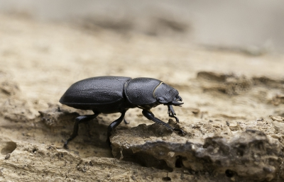 Nature picture: Dorcus parallelipipedus / Klein Vliegend Hert / Lesser Stag Beetle