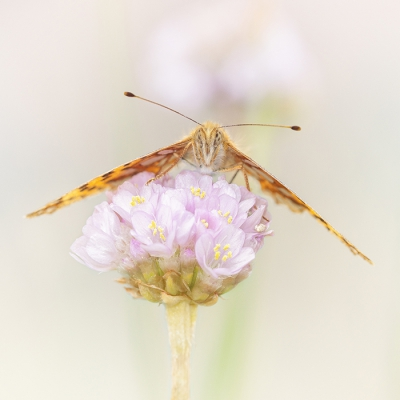 Nature picture: Issoria lathonia / Kleine Parelmoervlinder / Queen of Spain Fritillary