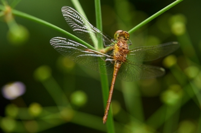 Nature picture: Sympetrum striolatum / Bruinrode Heidelibel / Common Darter