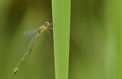 Nature picture: Chalcolestes viridis / Houtpantserjuffer / Willow Emerald Damselfly