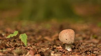 Nature picture: Amanita rubescens / Parelamaniet / Blusher