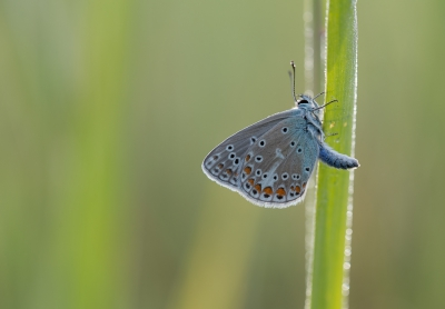 Nature picture: Polyommatus icarus / Icarusblauwtje / Common Blue