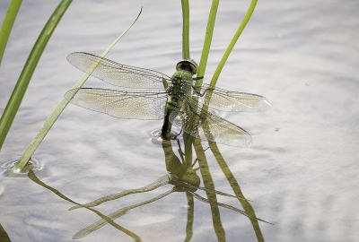Nature picture: Anax Imperator / Grote Keizerlibel / Blue Emperor