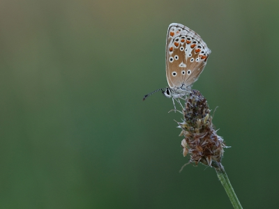 Nature picture: Aricia agestis / Bruin Blauwtje / Brown Argus