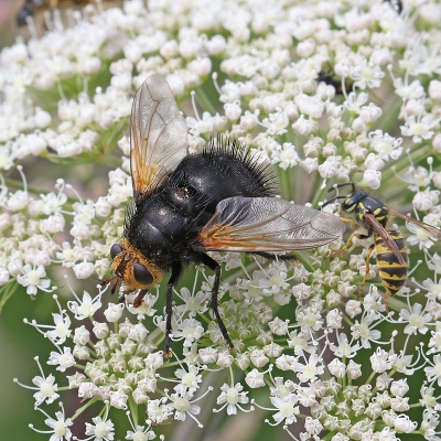 Nature picture: Tachina grossa / Stekelsluipvlieg / Giant Tachinid Fly