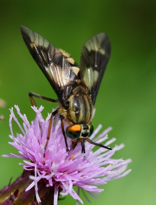 Nature picture: Chrysops relictus / Gewone Goudoogdaas / Horsefly
