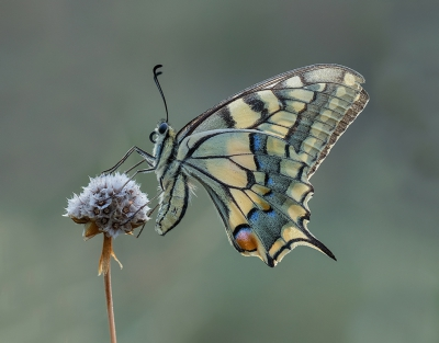 Papilio machaon / Koninginnenpage / Swallowtail