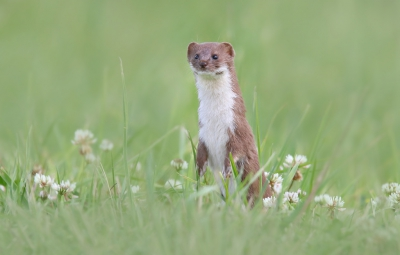 Nature picture: 3. Mustela nivalis / Wezel / Weasel
