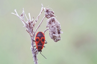 Pyrrhocoris apterus / Vuurwants / Fire Bug
