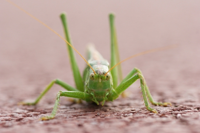 Tettigonia viridissima / Grote Groene Sabelprinkhaan / Great Green Bush Cricket