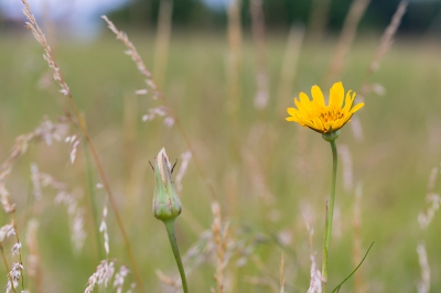 Tragopon pratensis / Gele Morgenster / Yellow Goat's-beard