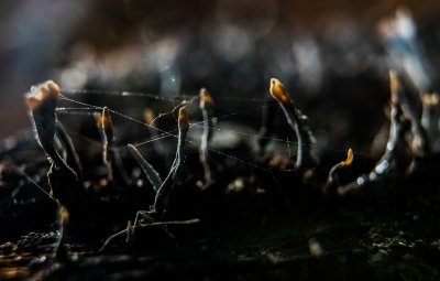Nature picture: Xylaria hypoxylon / Geweizwam / Candlesnuff Fungus