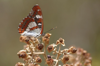 Nature picture: Limenitis reducta / Blauwe Ijsvogelvlinder / Southern White Admiral