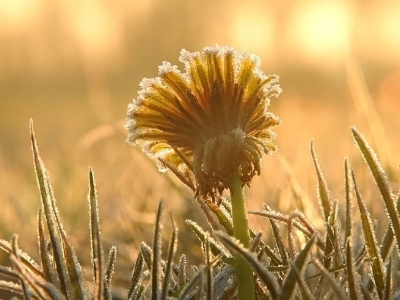 Nature picture: Taraxacum officinale / Paardenbloem / Common Dandelion