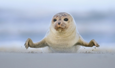 Nature picture: 3. Phoca vitulina / Gewone Zeehond / Harbour Seal