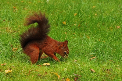 Natuur foto: Sciurus vulgaris / Eekhoorn / Red Squirrel