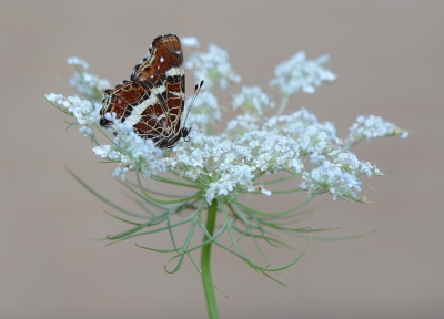 Nature picture: Araschnia levana / Landkaartje / Map Butterfly