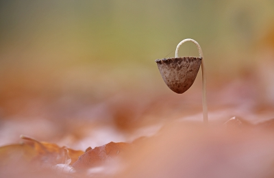 Nature picture: Psathyrella conopilus / Langsteelfranjehoed / Conical Brittlestem