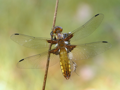 Nature picture: Libellula depressa / Platbuik / Broad - bodied Chaser
