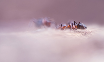 Nature picture: Formica polyctena / Rode bosmier / European Red Wood Ant