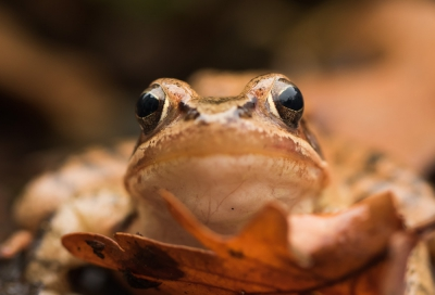 Nature picture: Rana temporaria / Bruine Kikker / Common Frog