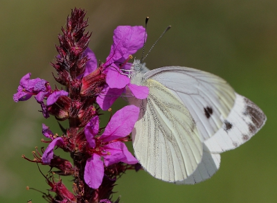 Nature picture: Pieris napi / Klein Geaderd Witje / Green-veined White