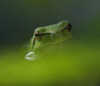 Nature picture: Hyla arborea / Europese Boomkikker / European Tree Frog