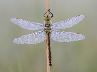 Nature picture: Anax imperator / Grote Keizerlibel / Emperor Dragonfly