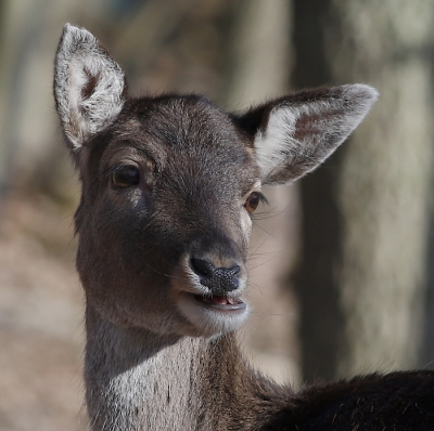 Nature picture: Dama dama / Damhert / Fallow Deer