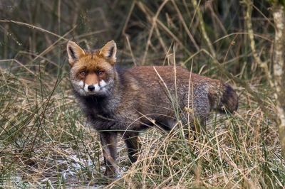Nature picture: Vulpes vulpes / Vos / Red Fox