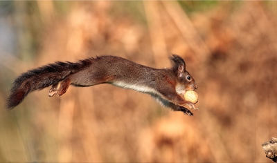 Nature picture: Sciurus vulgaris / Eekhoorn / Red Squirrel