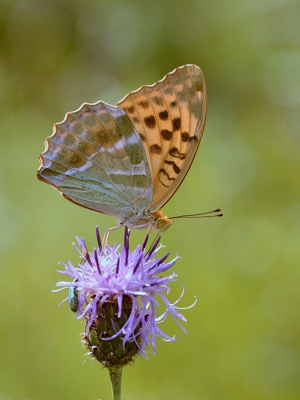 Nature picture: Argynnis paphia / Keizersmantel / Silver-washed Fritillary