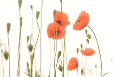 Nature picture: Papaver dubium / Bleke Klaproos / Long-headed Poppy