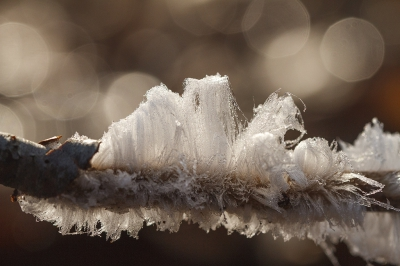 Nature picture: Capillus glacies / IJshaar / Frost Beard