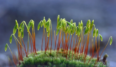 Nature picture: Mnium hornum / Gewoon sterrenmos / Swan's- neck Thyme moss