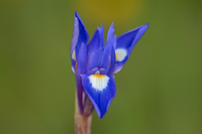 Nature picture: Iris germanica / Blauwe Iris / Bearded Iris