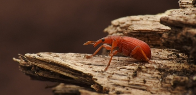 Nature picture: Apion frumentarium / Menierode Zuringspitsmuisje / Red Weevil