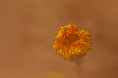 Nature picture: Tussilago farfara / Klein Hoefblad / Coltsfoot