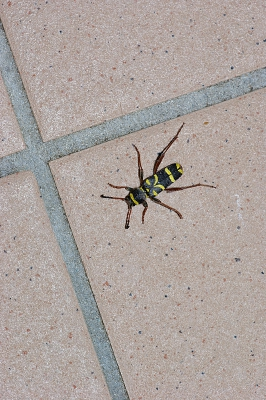 Nature picture: Clytus arietus / Kleine Wespenbok / Wasp Beetle