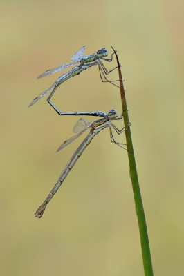 Nature picture: Lestes virens / Tengere Pantserjuffer / Small Spreadwing