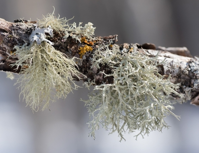 Nature picture: Usnea hirta / Bleek Baardmos / Bristly Beard Lichen