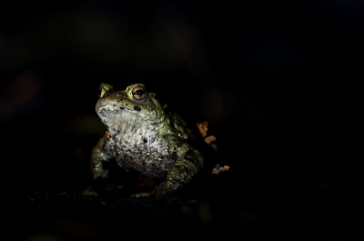 Nature picture: Bufo bufo / Gewone Pad / Common Toad