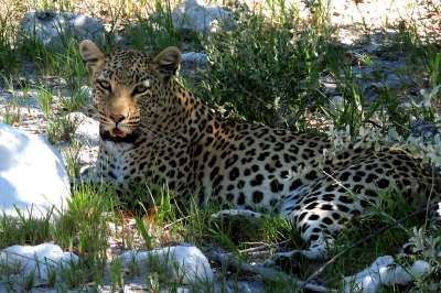 Nature picture: Panthera pardus / Luipaard / Leopard