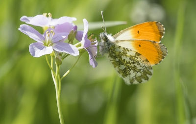 Nature picture: Anthocharis cardamines / Oranjetipje / Orange Tip