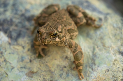 Nature picture: Bufotes viridis / Groene Pad / Green Toad