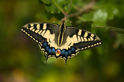 Nature picture: Papilio machaon / Koninginnenpage / Swallowtail