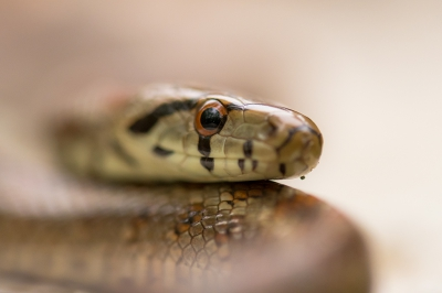Nature picture: Zamenis situla / Luipaardslang / Leopard Snake